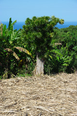 La Réunion - Canne et chandelle