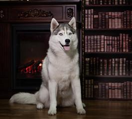 portrait husky dog near a fireplace