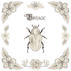 rose chafer drawing vintage engraving style
