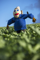 A colourful scarecrow in a field of crops in Devon,