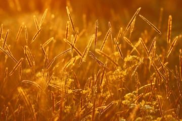 sunset, golden background summer grass