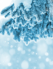 Background with snow-covered fir branches