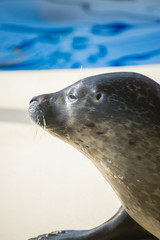 Portrait of marine seal near water pool.