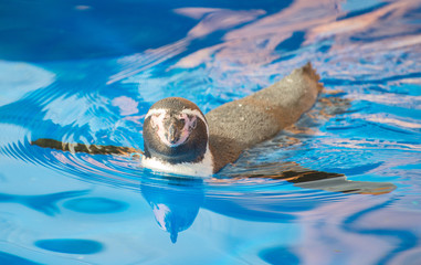 Little penguin swimming in blue water.
