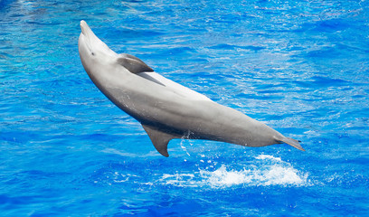 Dolphin having fun in clear blue sea.