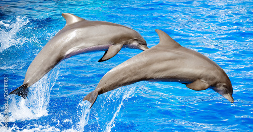 Two dolphins jumping in clear blue sea. - 72678783