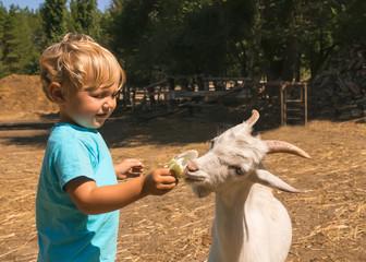 boy feeds white goat