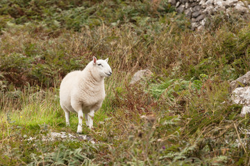 Scotland sheep pasturing in a meadow