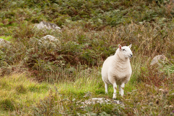Scoltand sheep on Skye Island