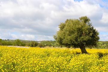 Campagna con fiori gialli e un albero di ulivo.