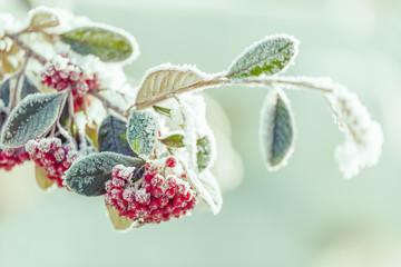 snowy rowan berries
