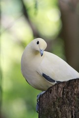 Pied Imperial Pigeon / Ducula bicolor