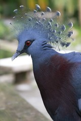 Victoria Crowned Pigeon / Goura victoria