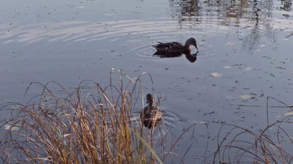 two ducks swimming in river or pond, autumn time