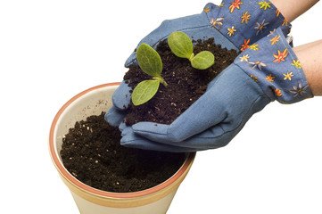 Planting Baby Plants In Flower Pot