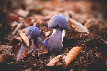 Mushrooms Cortinarius violaceus Selective Focus