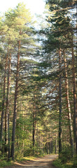 pine forest in the summer landscape