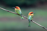 Chestnut-headed Bee-eater Bird