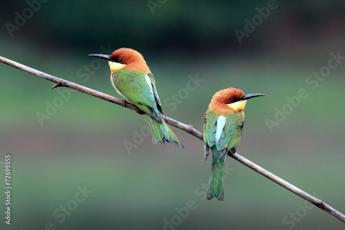 Chestnut-headed Bee-eater Bird - 72699355