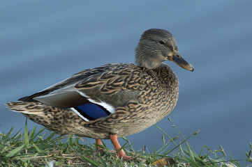 Beautifule female Mallard Duck showing off the blue feathers on