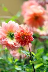 Flowers at Doi Tung Royal Villa,Chiang Rai Province,Thailand.
