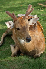 The recumbent deer on the ground