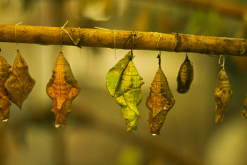Pupae of butterflies in an insectary