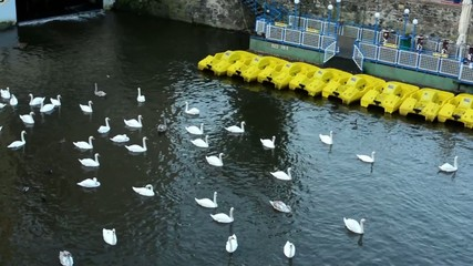 swans and pedal boats on the lake