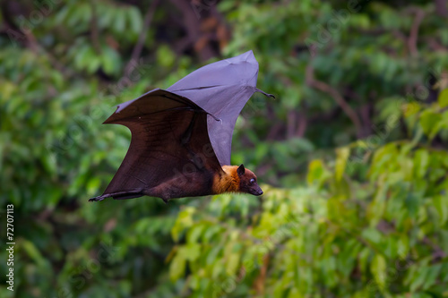 Foto op Canvas Kip Flying male Lyle's flying fox (Pteropus lylei)