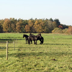 Three black horses standing in meadow