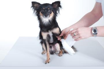 Kleiner Hund beim Tierarzt bekommt Verband um Pfote