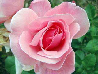 Rosa, Fiore, Coltivata