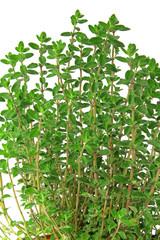 Majoran (Origanum majorana)