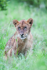 A miserable wild Lion cub sitting in the rain