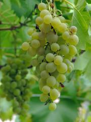 Uva, frutta