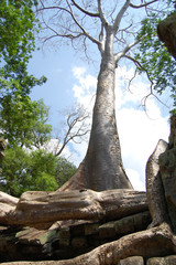 Ta Prohm Temple at Angkor in Siem Reap  Cambodia