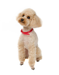 Dog Toy Poodle sitting on a white background with a red collar.