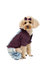 Toy poodle sitting on a white background in striped clothes.
