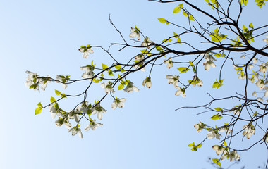 White flowering dogwood tree (Cornus florida) in bloom in sky