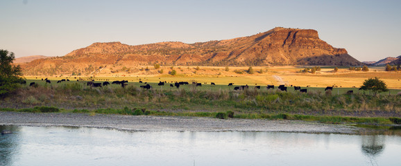 Desert River Ranch Black Angus Cattle Livestock © Christopher Boswell