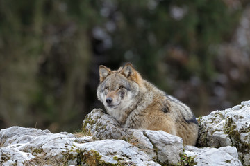 Grey wof lying on top of a rock.