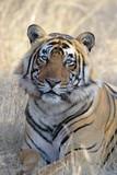 Portrait of a Bengal Tiger.