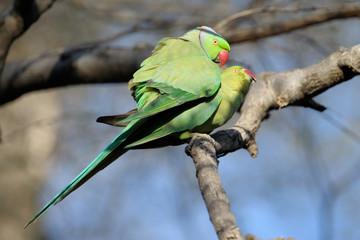 Parakeet couple mating.