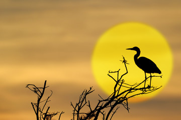 Grey Heron  on a tree, silhouette with sunset.