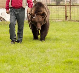 Bear on a leash