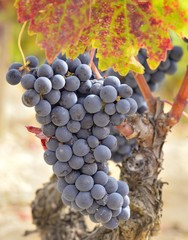 buch of grapes