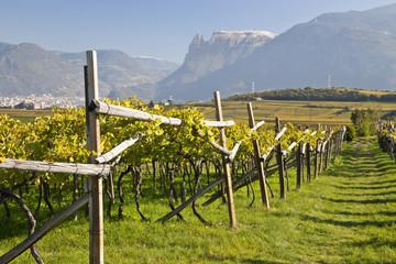 Weinberg in Südtirol