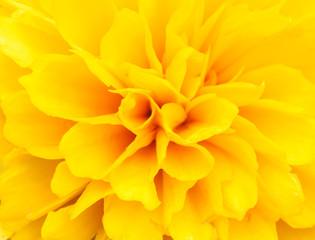 Closeup petal of flower.