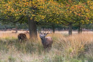 Red deer stag in the autumn Richmond park, London, UK