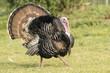 Wild Eastern Turkey - 72735943